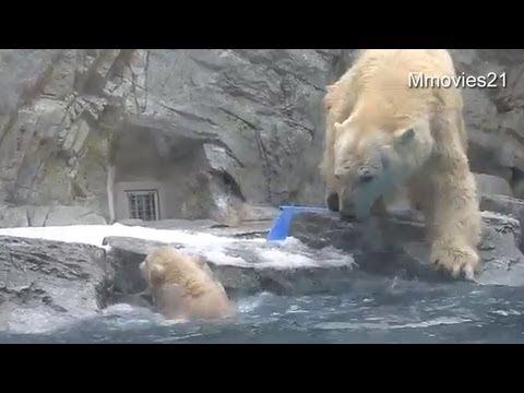 Help me! Polar Bear cub can't swim yet ~助けて!お母さん〜水に落ちたこぐま - YouTube