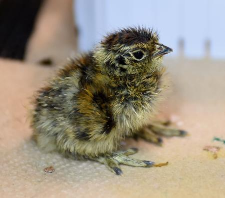 上野動物園で絶滅危惧種の「ニホンライチョウ」ふ化
