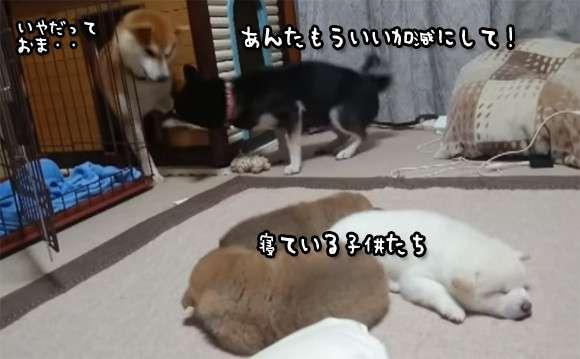 寝ている子犬たちにウザくしておかんに怒られる、トホホな父親犬w
