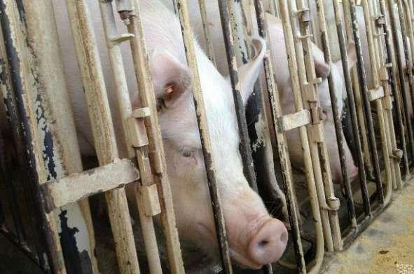狭い檻の中に閉じ込めて飼育する、妊娠豚用檻(ストール)の廃止を | オルタナS