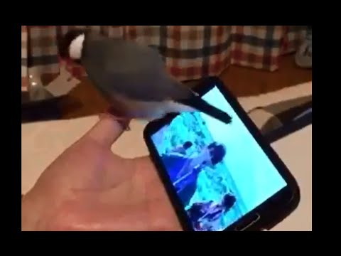 文鳥にサカナクションを聴かせてみたら超ノリノリになったwww - YouTube