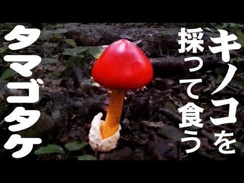 キノコを採って食う タマゴタケ wild mushroom - YouTube