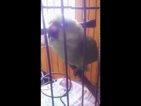 Try not to laugh!!!!  Parrot crying like a baby. - YouTube