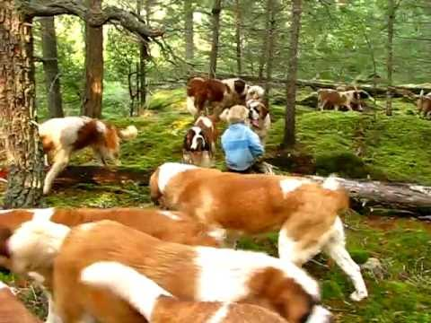 Lasquite's Saint Bernards 2011 - YouTube