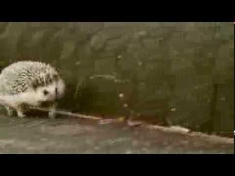 【ハリネズミ★まるたろう】走るハリネズミ Happy running Hedgehog - YouTube