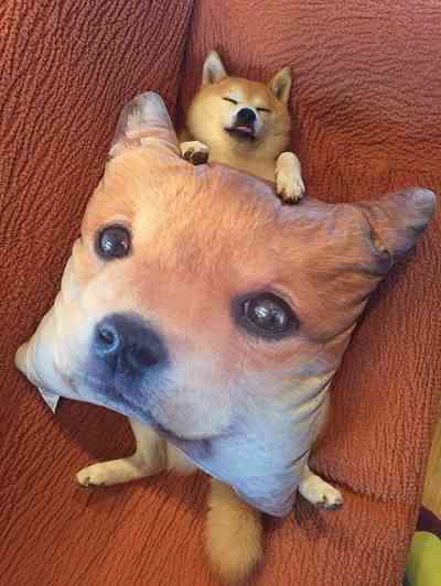 柴犬on柴犬 しまむらの柴犬クッションでくつろぐ柴犬が完全にかわいい
