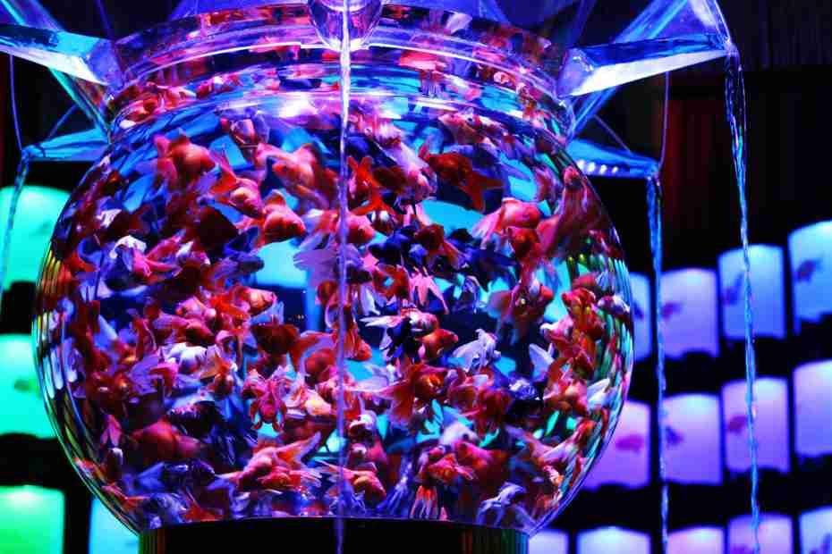 """30年以上開催されている""""金魚放流イベント""""が「虐待」と物議 「生態系に影響がでるのでは」との意見も"""
