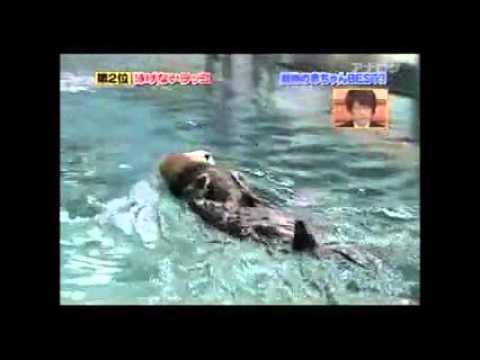 【ベストハウス】泳げないラッコの赤ちゃん!可愛い - YouTube