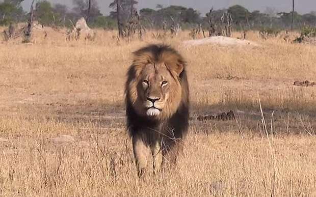 【閲覧注意】「同じ目に遭わせたい」ジンバブエの人気ライオンを射殺した米国人歯科医に批難が殺到  40時間かけて追い回し、射殺