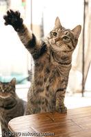 【どっちが】猫の見分け方 キジトラとサバトラの違い【どっち】 - NAVER まとめ
