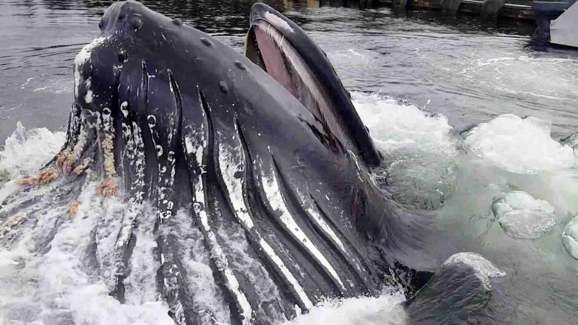 Humpback Whale Breaches Surface By Docks - YouTube