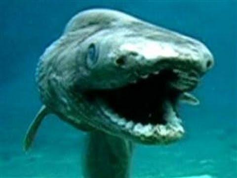 海の珍獣!ラブカ 生きた化石!(Chlamydoselachus anguineus the living fossil) - YouTube
