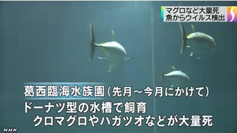 水族館マグロ大量死で残った1匹が人気に→衝突死