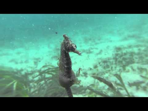 White's Seahorse giving birth in the wild- NSW Aus - YouTube