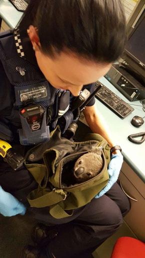 コアラの赤ちゃん、逮捕された女性のバッグから発見 豪警察が無事に保護