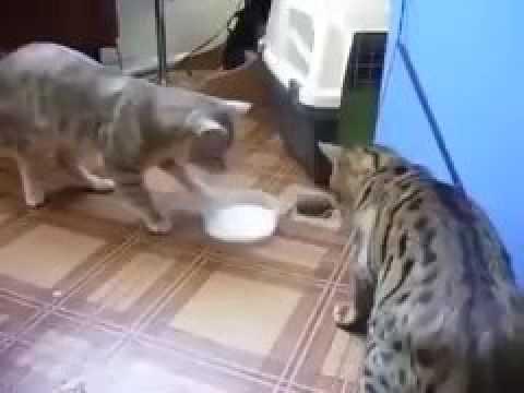 2匹の猫ミルクを奪い合っているように見えるが、、、【Twitterで話題】 - YouTube