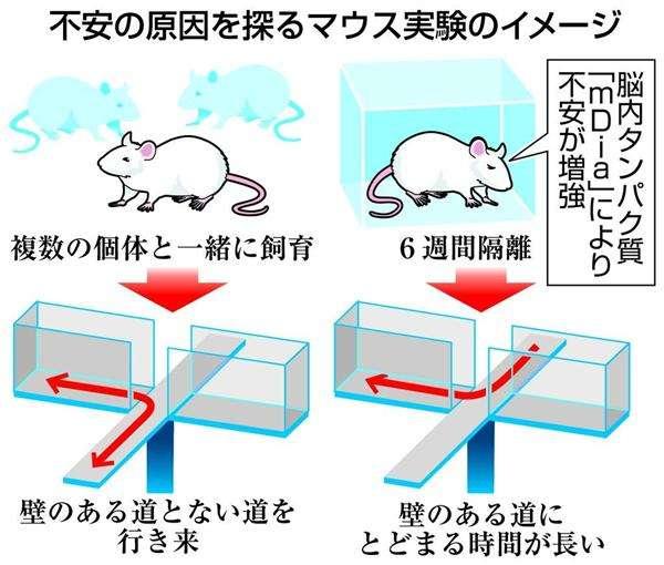 「引きこもり」治療に光!?不安な行動は脳内神経の特定タンパク質が原因…京大などのチームがマウス実験で解明