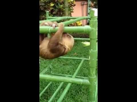 Baby sloth makes cutest noises while exercising! - YouTube