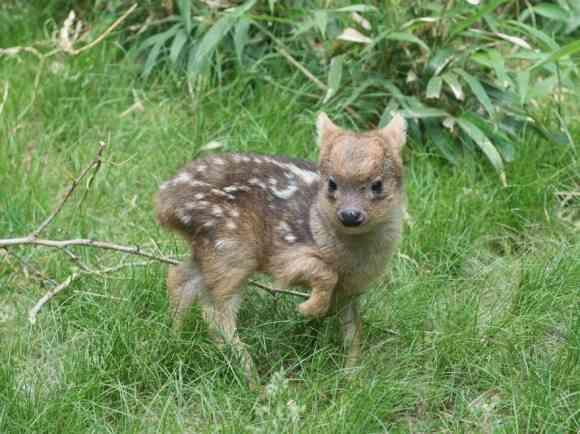 世界最小の鹿、プーズーの赤ちゃんが生まれたよ!(米ニューヨーク)