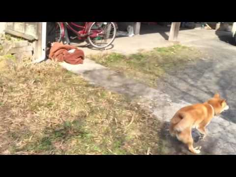 """バイバイって言うと慌てて戻って来る柴犬 My dog comes back when I say""""bye bye"""" - YouTube"""