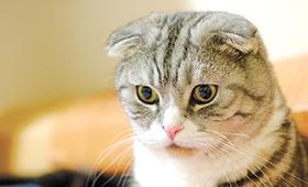 猫ブームで懸念高まる 猫に広がる遺伝性疾患 犬と「同じ轍」踏むか - トピックス | sippo(シッポ) ペットのための情報・サービス