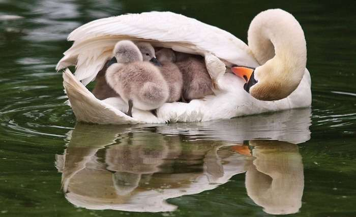 ヒナを乗せて泳ぐ白鳥、その格納性の高さwww