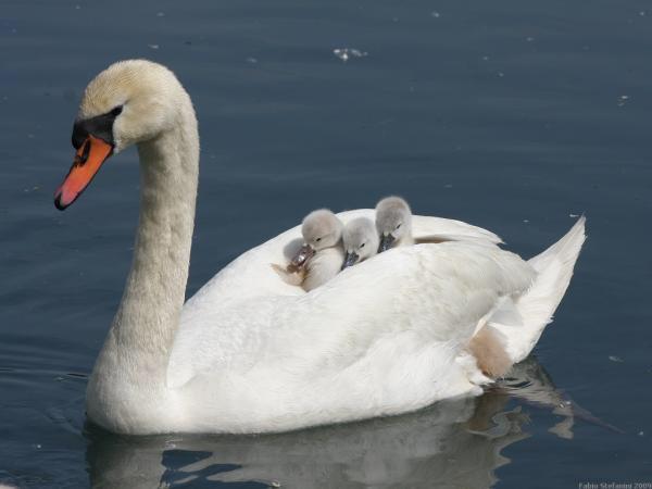 ヒナを乗せて泳ぐ白鳥、その格納性の高さwwwwwww:ハムスター速報