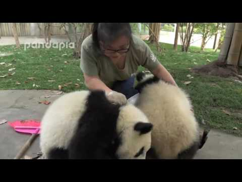 Cute!What did panda do when zookeeper cleaning the leaves - YouTube