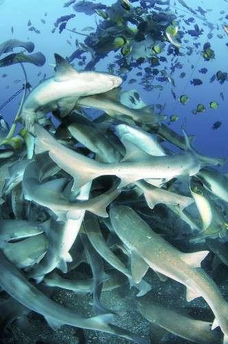 サメと仲良しダイビング、餌付けで誘導…館山沖