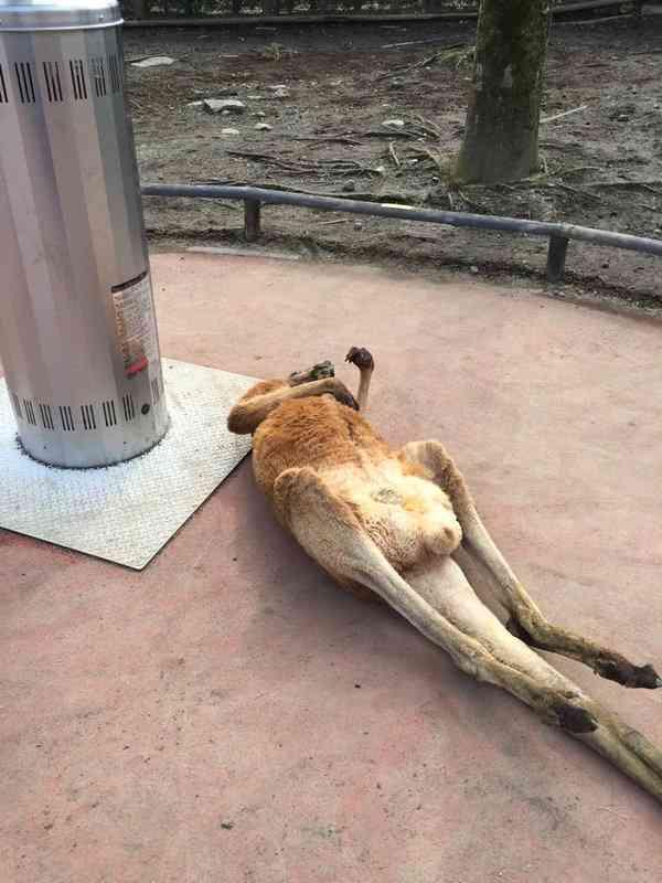 サファリパークのカンガルーがだらけすぎて、休日のオッサン化