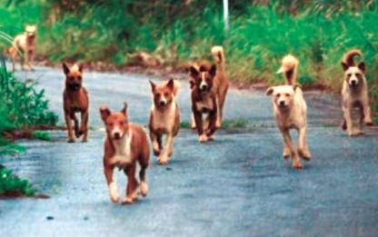 「飼い犬捨てないで」 国頭に野犬の群れ数十匹 人追い、クイナ殺す (琉球新報) - Yahoo!ニュース
