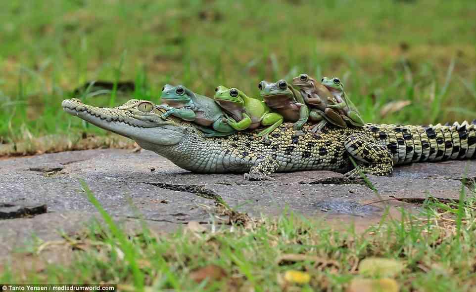【苦手な人注意】インドネシアで、背中に5匹のカエルを乗せたワニが撮影されるw