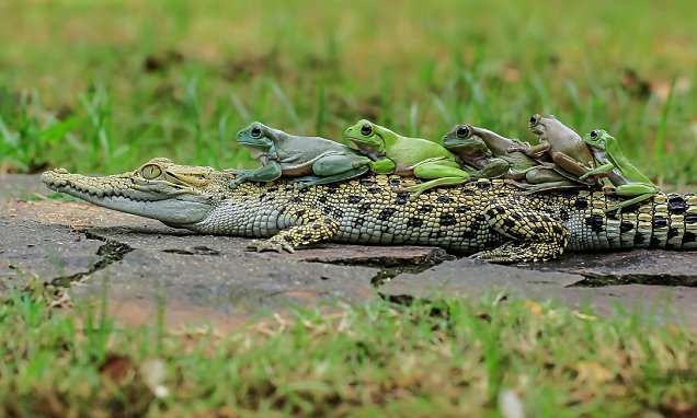 Frogs climb on caiman's back and do the conga   Daily Mail Online