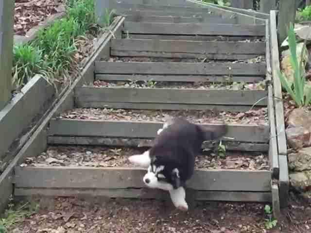 3匹目がどんくさいぞ!カッコよく階段を駆け下りる子犬たち ホッとひと息TV #260|GYAO!|バラエティ・スポーツ
