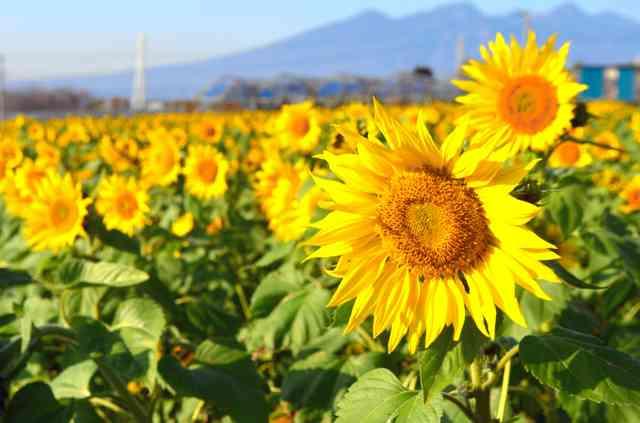 こんなに寒いのに…なぜかヒマワリ咲き誇る 山梨:朝日新聞デジタル