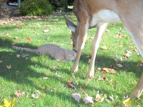 もう嫉妬しちゃう…猫と鹿が仲良くじゃれ合っている写真14枚:らばQ