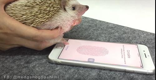 iPhoneの指紋認証、ハリネズミの手でも登録できることが判明w