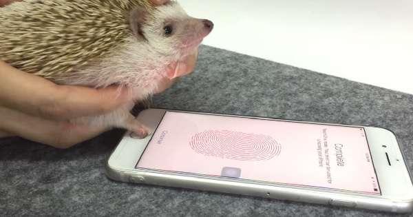iPhoneの指紋認証、ハリネズミの手でも登録できることが判明www【動画】 - AOLニュース
