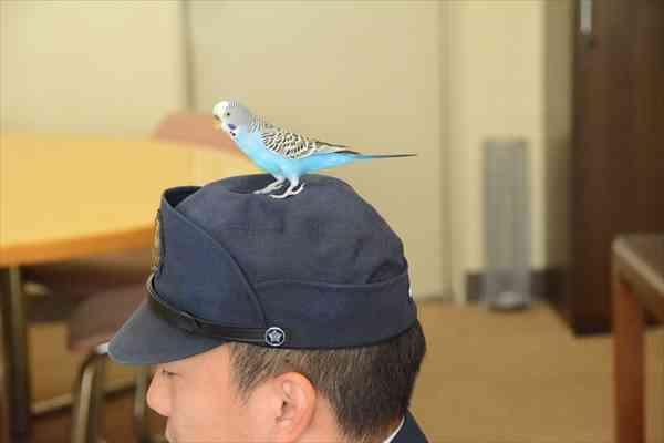 迷子インコ、署員に飛び乗り「保護」…宇都宮南署、飼い主待つ