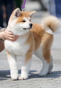 中国で「ニセ秋田犬」横行 血統良ければ1,000~2,000万円で取引