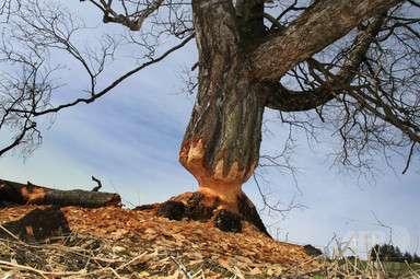 アルゼンチン、ビーバー10万匹を駆除へ 大繁殖で壊滅的被害 写真1枚 国際ニュース:AFPBB News
