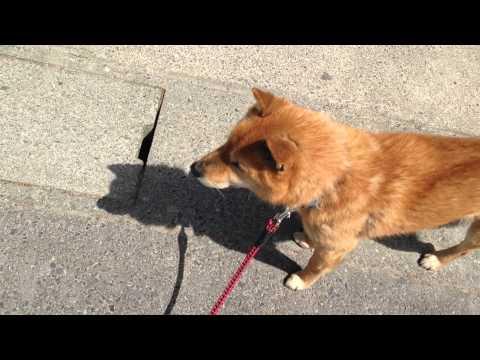 散歩だと思ってたら、注射だとだんだん気付いた時の犬 - YouTube