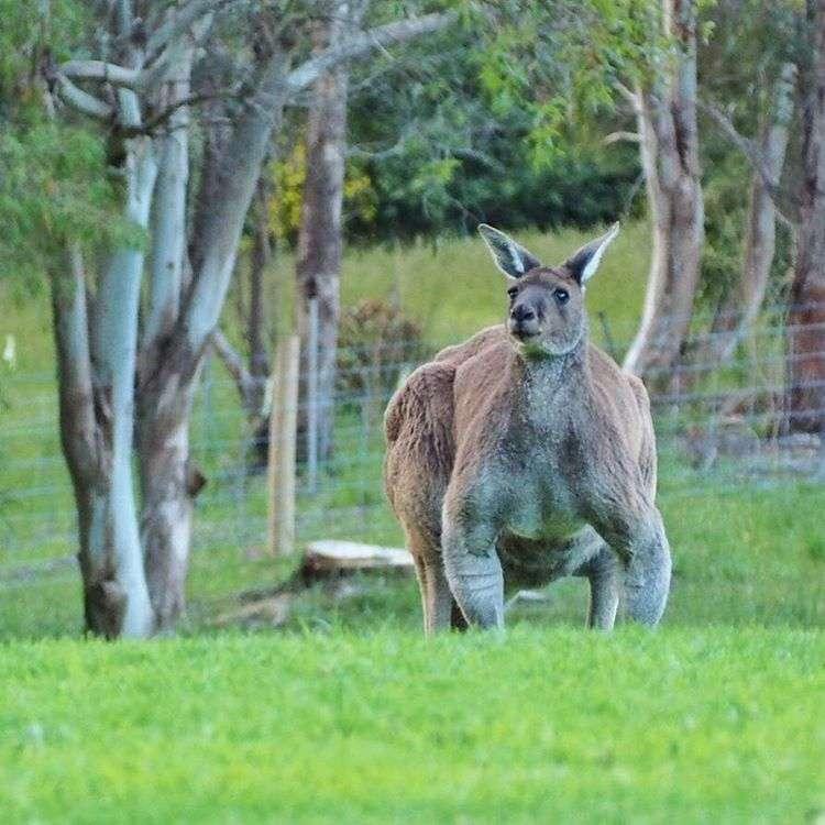 オーストラリアで撮影されたカンガルーがムキムキで威圧感ハンパない