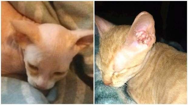 スフィンクスの子猫を約半額でネット購入した女性 2週間後、猫に起きたに異変とは?!