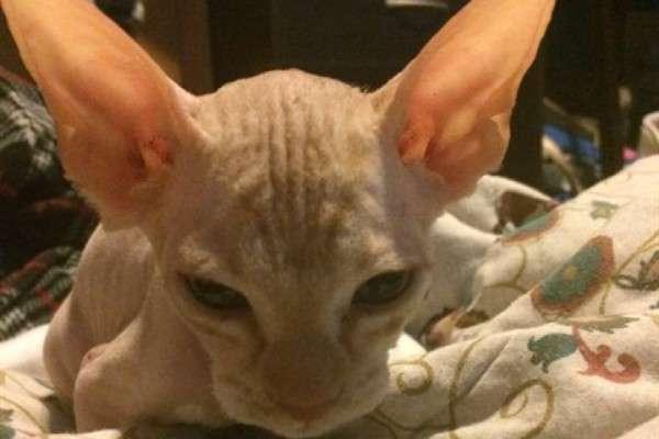 スフィンクスの子猫をネットで約半額で購入した女性 すると2週間後に猫の体に信じられない異変が?! - Spotlight (スポットライト)