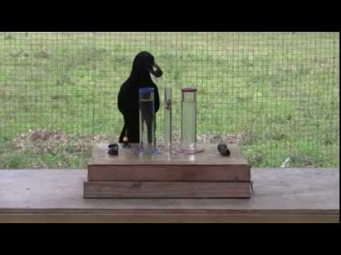 Causal understanding of water displacement by a crow - YouTube
