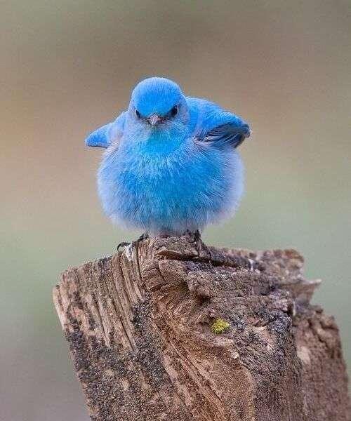 輝くほど青い鳥「マウンテン・ブルーバード」 ひな鳥の姿があまりにも可愛すぎる - NAVER まとめ