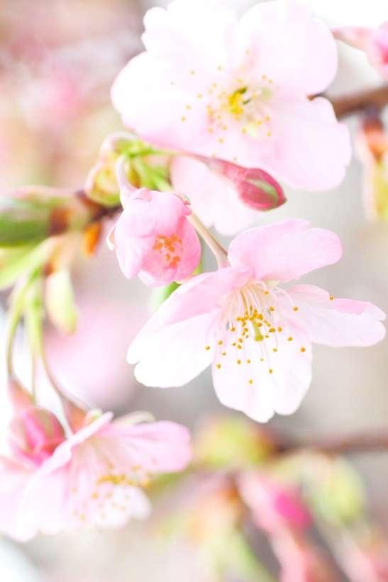 河津桜2017年開花予想!見どころは?河津桜まつりはいつ?   気になること、知識の泉
