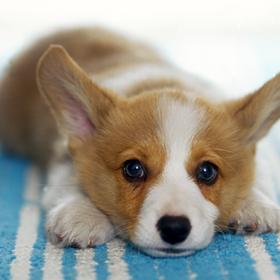 コーギー絶滅危惧リスト入り?   dog actually - 犬を感じるブログメディア