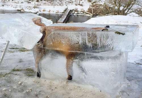 【閲覧微注意】ドナウ川に落ちて凍ったキツネ、氷の塊ごと切り出される【ドイツ】